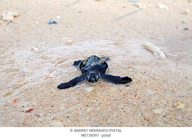 Baby Pacific green turtle or green sea turtle (Chelonia mydas) It enters the water, Redang island, Malaysia