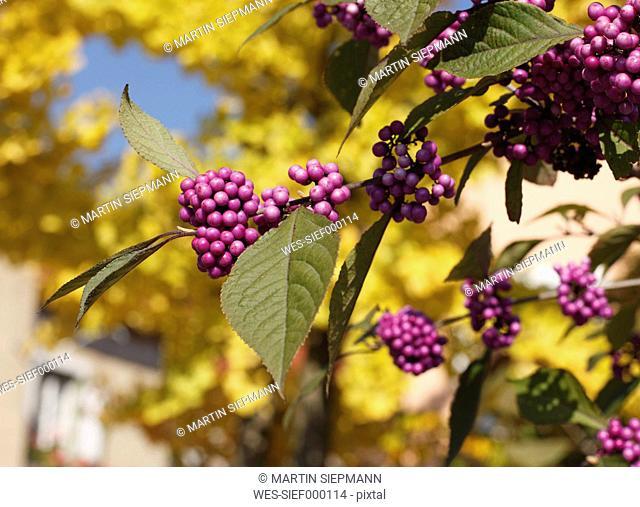 Close up of Bodinier's beautyberry lat. Callicarpa bodinieri