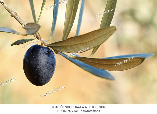 Olive in Olive Branch. Spain