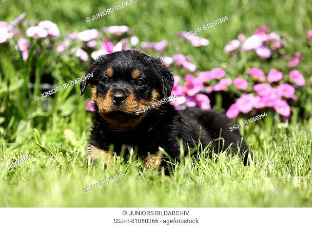 Rottweiler. Puppy (6 weeks old) lying in a flowering garden. Germany