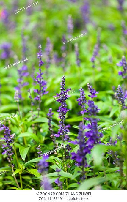 blue flower sage grass, salvia flowers in garden