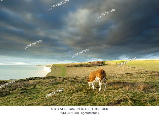 Cow grazing at Seven Sisters cliffs near Eastbourne, East Sussex, England