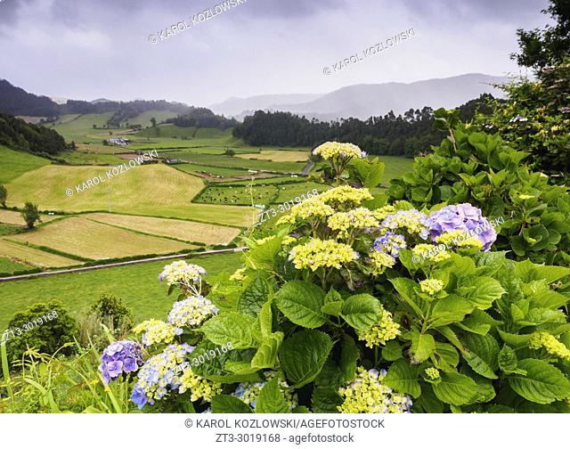 Hortensias near Furnas, Sao Miguel Island, Azores, Portugal