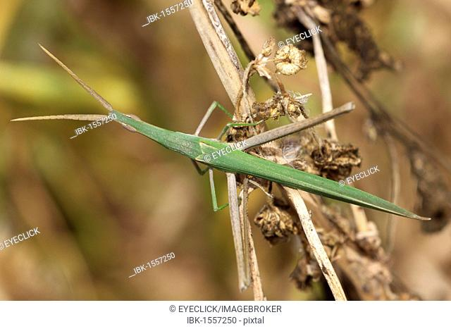 Ghost Grasshopper (Phasmatodea), Morocco, Africa