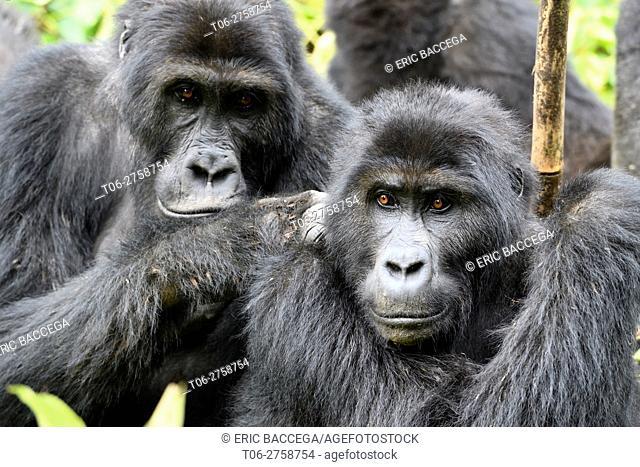 Eastern lowland gorilla grooming (Gorilla beringei graueri) in the equatorial forest of Kahuzi Biega National Park. South Kivu, Democratic Republic of Congo
