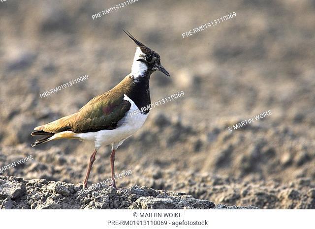 Lapwing, , Vanellus vanellus
