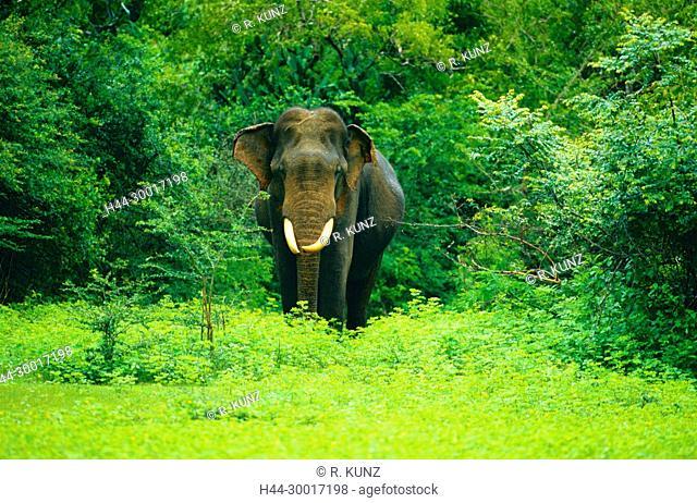 Asian Elephant, Elephas maximus, Elephantidae, Elephant, bulle, animal, mammal, Yala National Park, Sri Lanka
