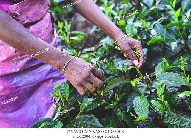 Women tea plantation workers collect the top tiers of the leaves and most delicate shoots to make white and green Ceylon tea