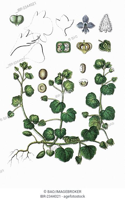 Ivy-leaved speedwell (Veronica hederifolia), medicinal plant, historical chromolithography, about 1796