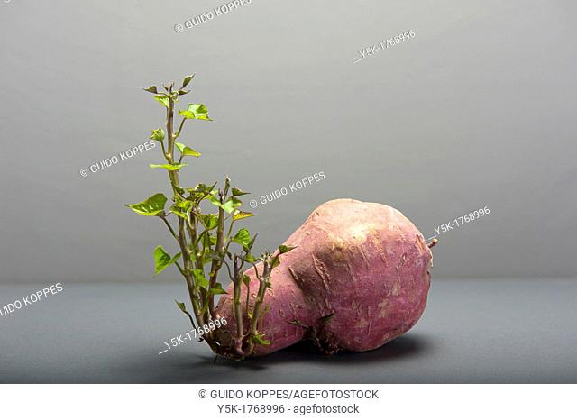 Studio-image of a sweet potato with leaves against a grey back- and underground