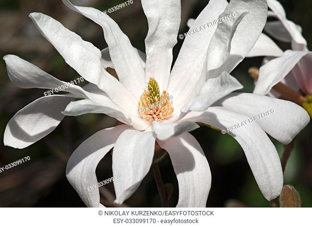 Star magnolia flower (Magnolia stellata). Another scientific name is Magnolia kobus var. stellata