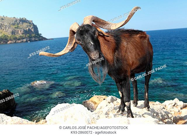 Cabra mallorquina en la serra de tramuntana, mallorca, islas baleares