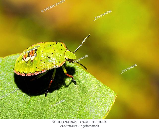 Southern green shield bug (Nezara Viridula) - Italy