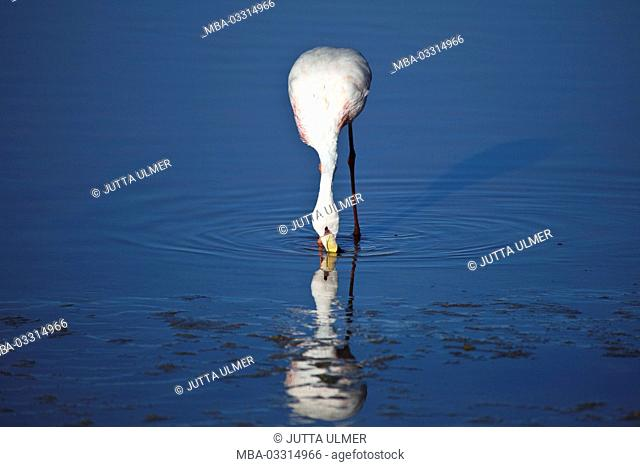 Bolivia, Los Lipez, Laguna Colorada, Andes flamingo