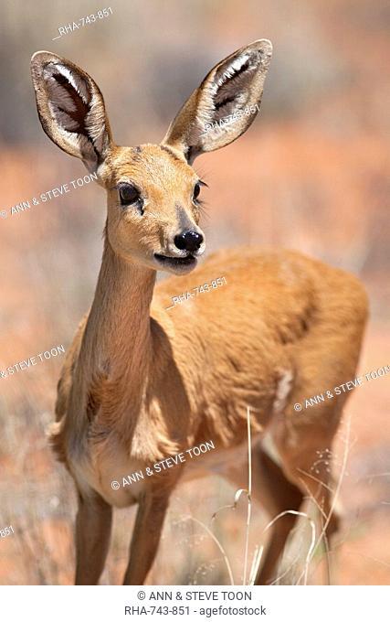Female SteenbokRaphicerus campestris, Kgalagadi Transfrontier Park, South Africa, Africa