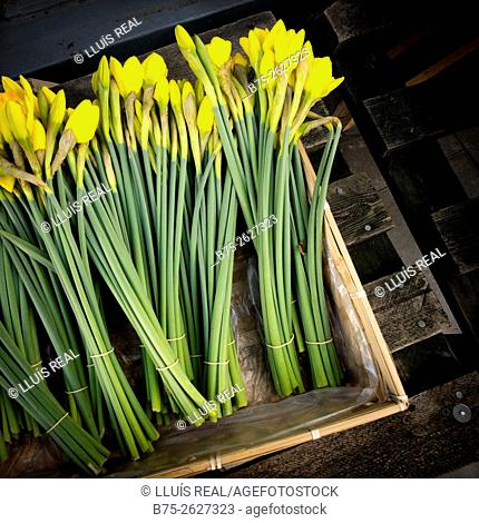 Several bunches daffodils in a wooden box in a flower shop