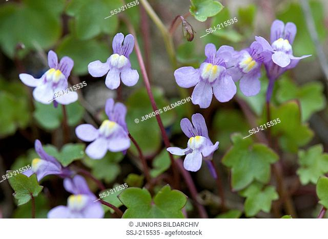 Ivy-leaved Toadflax (Cymbalaria muralis), flowering Plant. Germany