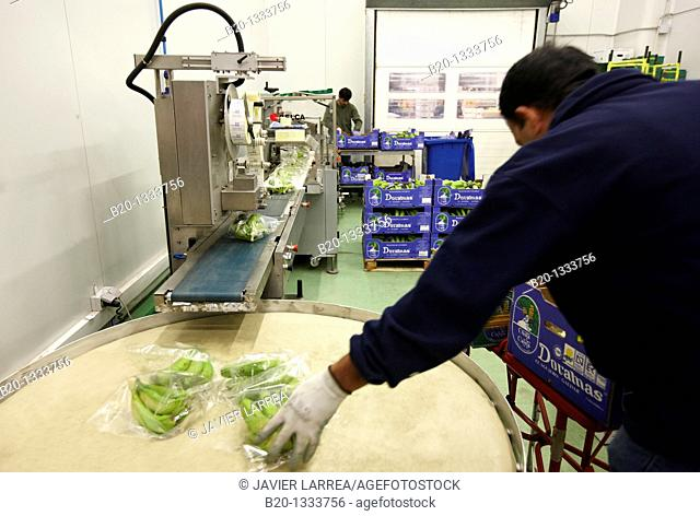 Packing bananas, Mercabilbao fruits and vegetables wholesale market, Basauri, Bilbao, Bizkaia, Euskadi, Spain