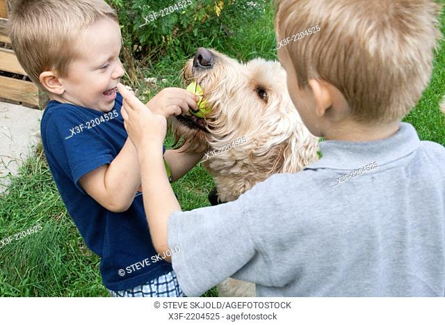 Boys age 4 and 6 tugging on retrieved ball from dog Gunnar's (Goldendoodle) mouth to throw again. Clitherall Minnesota MN USA
