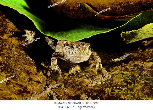 Freshwater Rivers. Common Toad (Bufo bufo). Rio Oitaven. Galicia. Spain. Europe