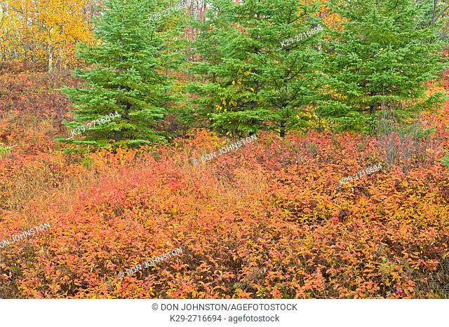 Autumn honeysuckle with white spruce trees. Greater Sudbury, Ontario, Canada