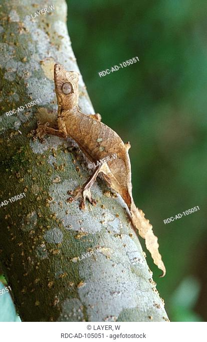 Spear-Pointed Leaf-Tailed Gecko Madagascar Uroplatus ebenaui
