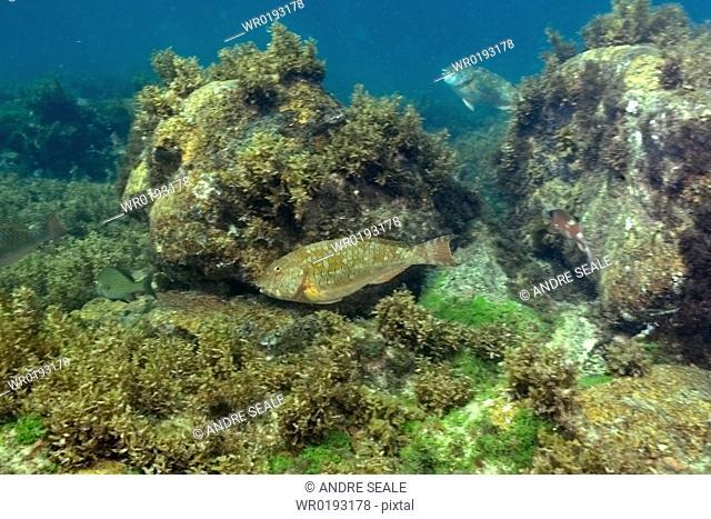 Parrotfish, Sparisoma axillare, Fernando de Noronha, Pernambuco, Brazil