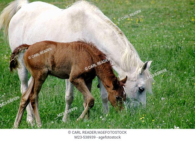 A newly born foal and its mother share a meal of fresh spring grass