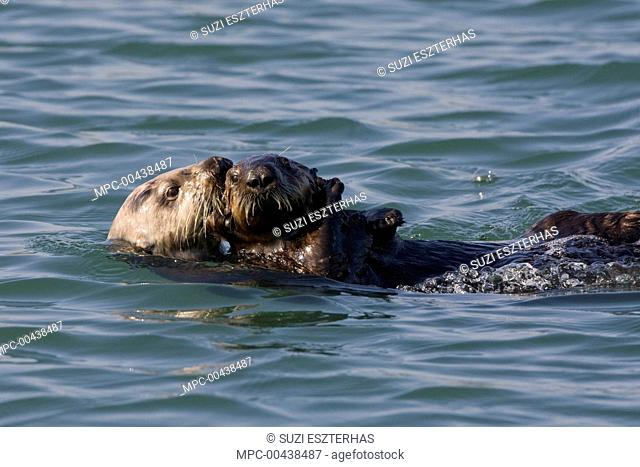 Sea Otter (Enhydra lutris) mother carrying three to six month old pup, Monterey Bay, California