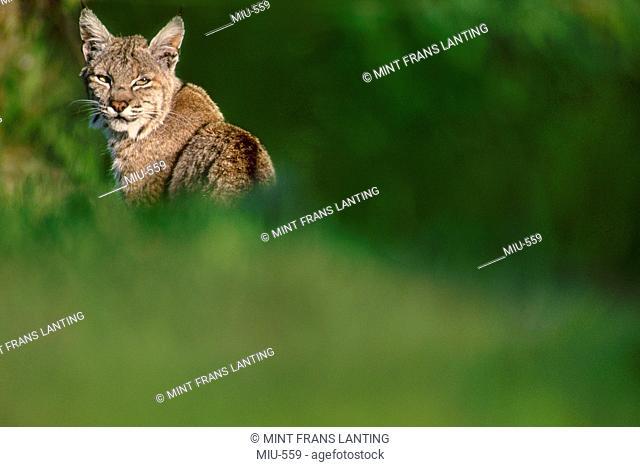Bobcat, Lynx rufus, Monterey Bay, California