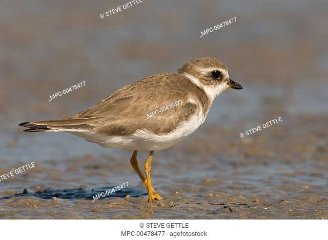 Piping Plover (Charadrius melodus), Fort Desoto Park, Florida