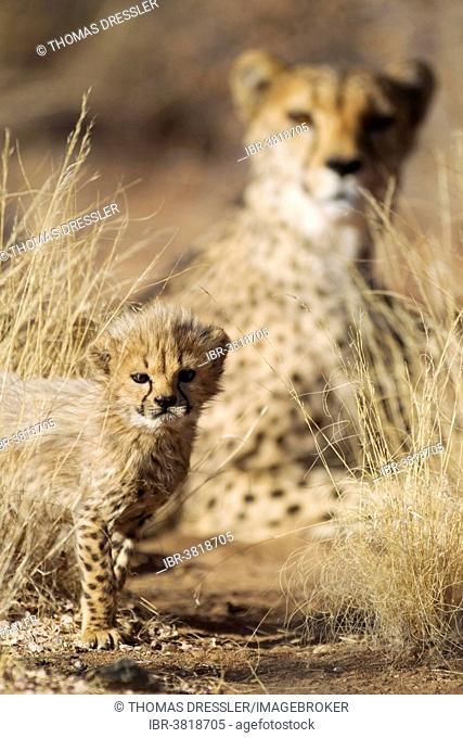 Cheetah (Acinonyx jubatus), male cub, 39 days, the mother at the back, captive, Namibia