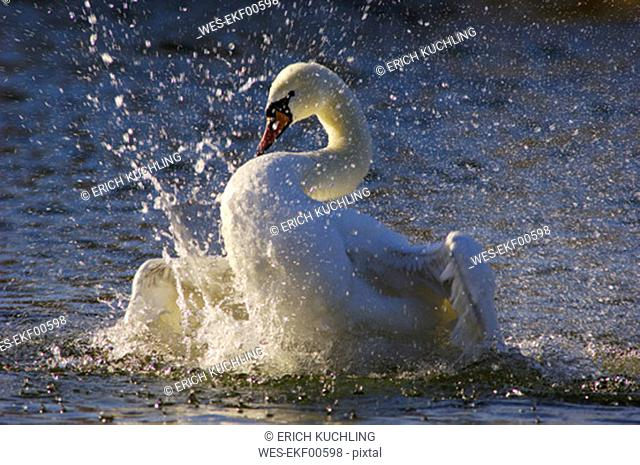 Mute swan flapping wings in lake, close-up