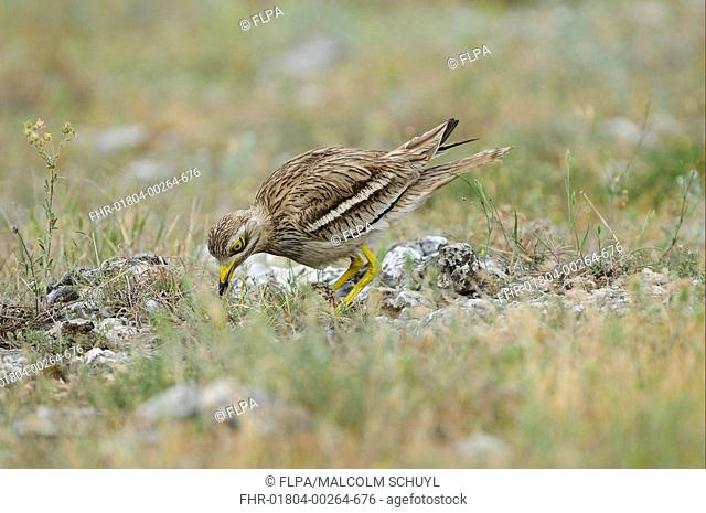 Eurasian Stone-curlew Burhinus oedicnemus adult, turning eggs in nest, Bulgaria, may