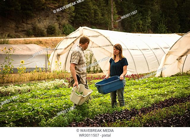 Two farmer interacting with each other in green house