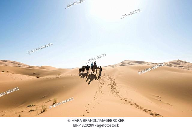 Caravan with Dromedary (Camelus dromedarius), shadow on sand dunes in the desert, Erg Chebbi, Merzouga, Sahara, Morocco