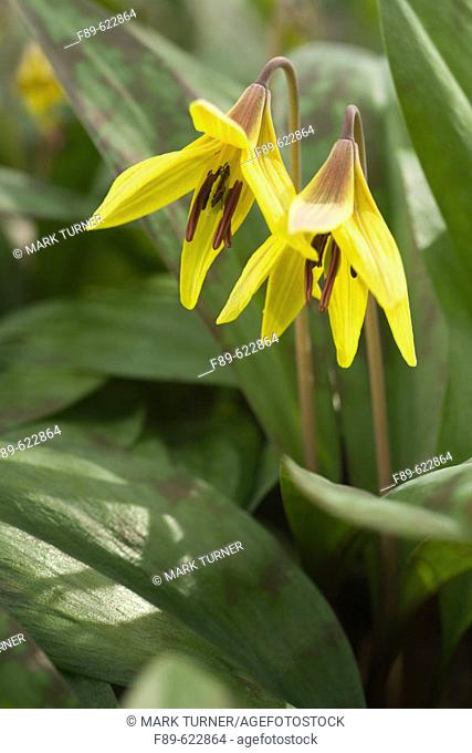 Yellow Trout Lilly (Dogtooth Violet) blossoms & foliage [Erythronium americanum]. VanDusen, Vancouver, BC