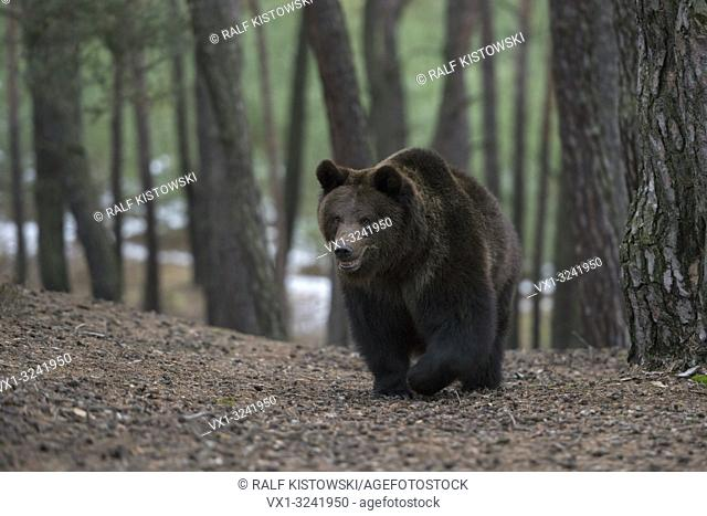 Eurasian Brown Bear ( Ursus arctos ) walking, coming up a hill in a forest, looks curious, frontal shot, Europe