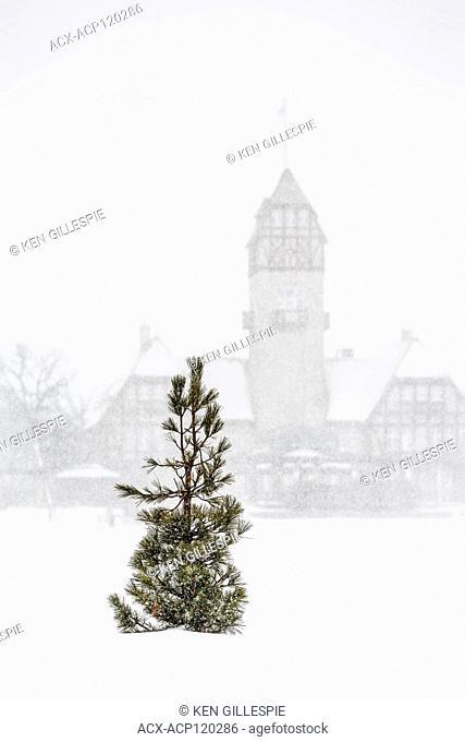 A lone Pine tree in a blizzard, Assiniboine Park Pavilion in the background, Assiniboine Park, Winnipeg, Manitoba, Canada