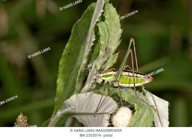 Katydid or Bush-cricket (Poecilimon jonicus), male, Makrigialos, Greece, Europe