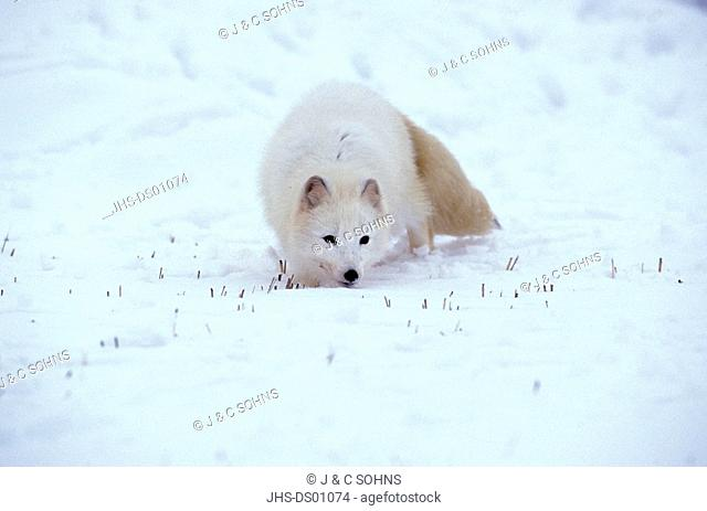 Arctic Fox,Alopex lagopus,Montana,USA,adult in snow looking for food