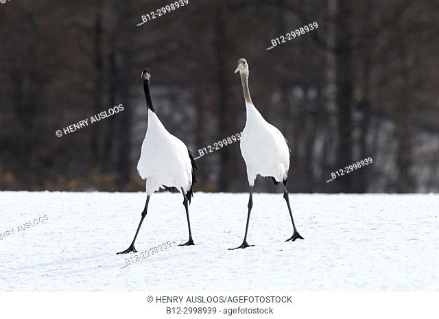 Japanese crane, Red-crowned crane (Grus japonensis) young and adult, Japan
