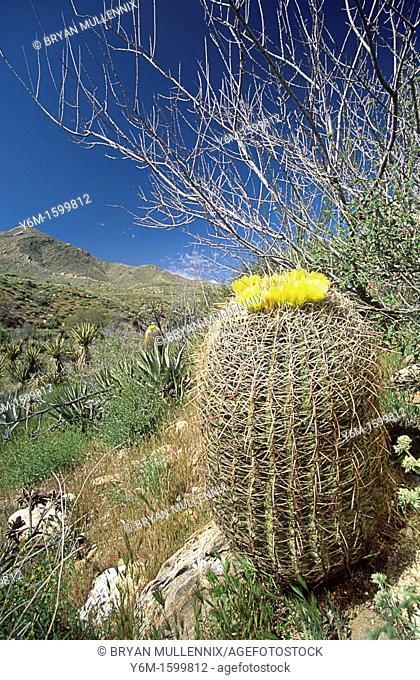 Blooming barrel cactus Anza-Borregon Desert State Park, California, USA