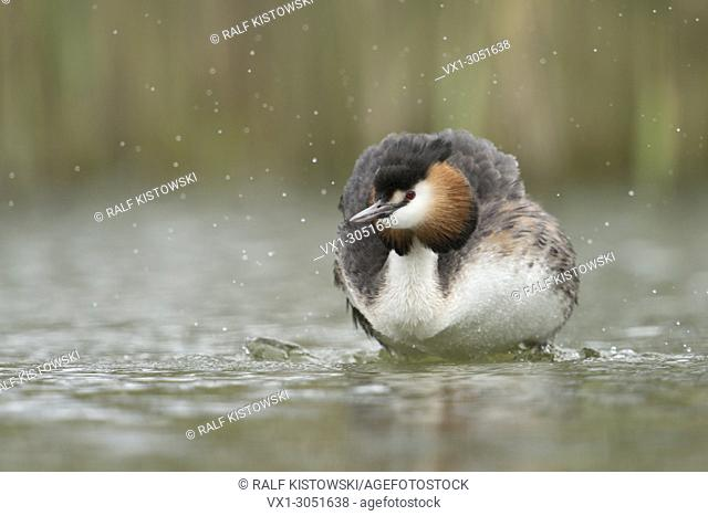 Great Crested Grebe (Podiceps cristatus ) shaking water out off its plumage, in typical surrounding of a natural lake