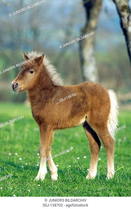 Classic Pony foal - standing on meadow restriction: puzzle till 01.07.2011