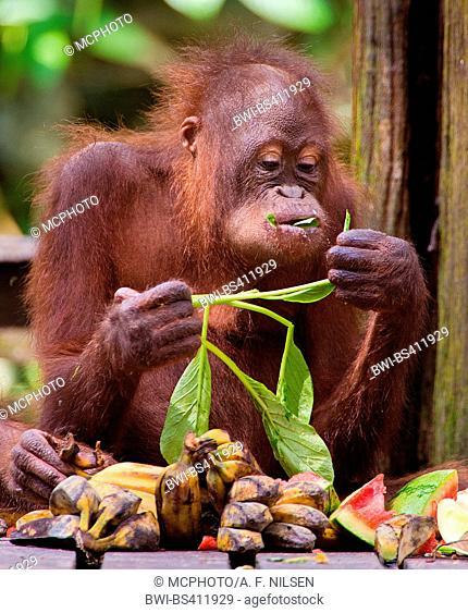 Northeast Bornean orangutan (Pongo pygmaeus morio), Juvenile orangutan feeding , Malaysia, Borneo, Sabah, Sepilok Orangutan Rehabilitation Centre