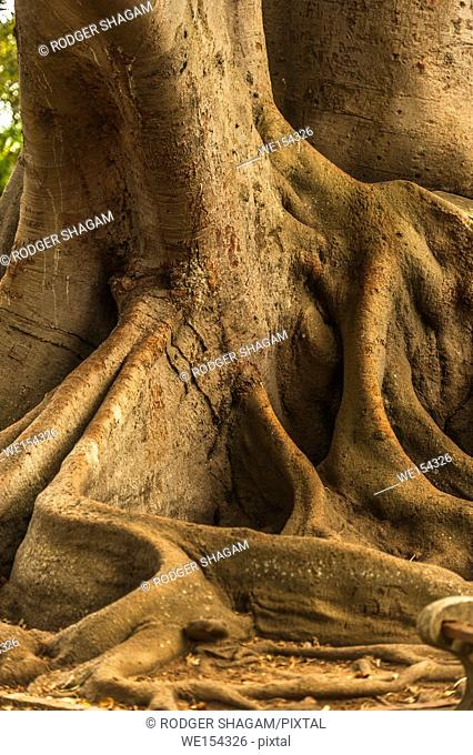 Power tree roots above the ground. Cape Town, South Africa