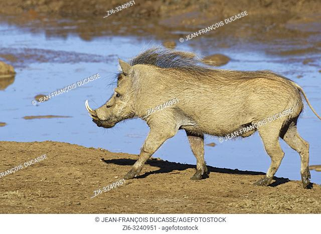 Common warthog (Phacochoerus africanus), adult male, walking at a waterhole, Addo Elephant National Park, Eastern Cape, South Africa, Africa