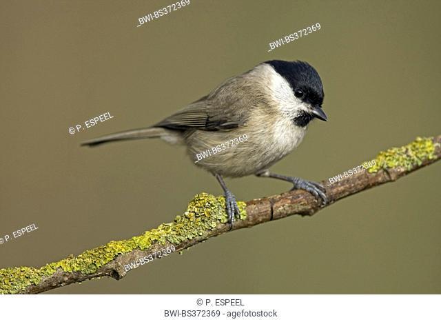 willow tit (Poecile montana, Parus montanus), sitting on a branch, Belgium, Hainaut