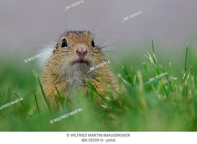 European Ground Squirrel (Spermophilus citellus), Lake Neusiedl, Austria